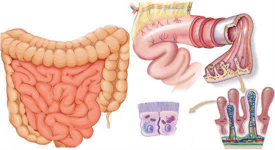 the-small-intestine